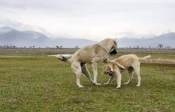 Jogando cães de carneiros Fotografia de Stock