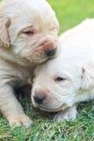 Jogando cachorrinhos na grama verde - três semanas de Labrador velho. Imagens de Stock Royalty Free