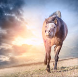 Jogando cavalo running no sol no fundo do céu do alvorecer Fotografia de Stock