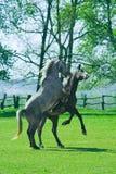 Jogando cavalos Fotografia de Stock