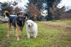 Jogando cães Fotografia de Stock