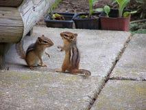 Jogando Chipmunks Fotos de Stock