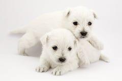 Jogando filhotes de cachorro Imagens de Stock