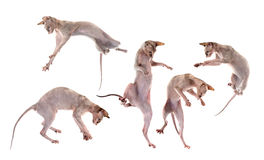Jogando gatos calvos de Sphynx imagens de stock royalty free