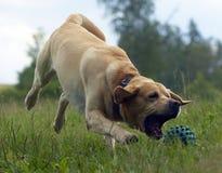 Jogando Labrador Fotos de Stock Royalty Free