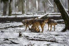 Jogando lobos na floresta nevado Foto de Stock