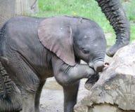 Jogando o bebê do elefante africano Fotos de Stock