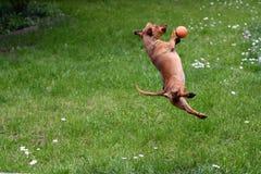 Jogando o cão Fotos de Stock