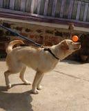 Jogando o cão com lebrador da cápsula fotografia de stock royalty free