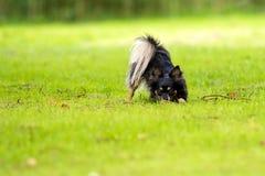 Jogando o cão da chihuahua Fotografia de Stock Royalty Free