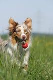 Jogando o cão de pastor australiano Fotos de Stock Royalty Free
