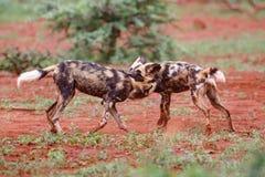 Jogando o cão selvagem africano foto de stock royalty free