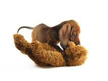 Jogando o dachshund Imagem de Stock Royalty Free