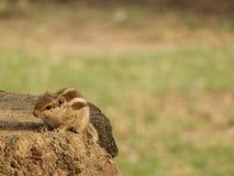 Jogando o esquilo no parque Fotos de Stock Royalty Free