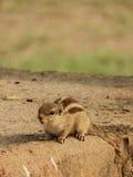 Jogando o esquilo no parque Fotografia de Stock Royalty Free