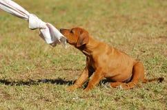 Jogando o filhote de cachorro Fotos de Stock Royalty Free