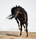 Jogando o garanhão preto do trakehner Foto de Stock