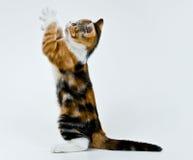 Jogando o gatinho. Fotos de Stock Royalty Free