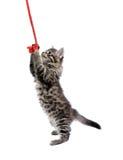 Jogando o gatinho Fotografia de Stock Royalty Free