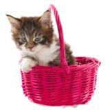 Jogando o gatinho do Coon de Maine Fotografia de Stock Royalty Free