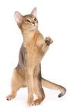 Jogando o gato Imagem de Stock Royalty Free