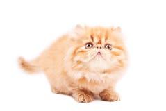 Jogando o gato imagens de stock royalty free
