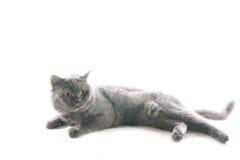 Jogando o gato cinzento. Fotos de Stock