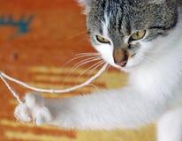 Jogando o gato com uma faixa Imagens de Stock Royalty Free