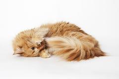 Jogando o gato do gengibre Imagens de Stock