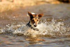 Jogando o terrier de Jack Russel Fotografia de Stock