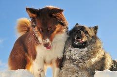 Jogando o traquinagem dos cães na neve Fotos de Stock Royalty Free