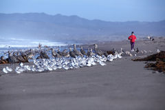A jogger on beach with seabirds Stock Photography