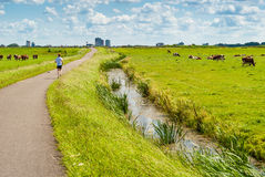Jogger in a cow field Royalty Free Stock Photography