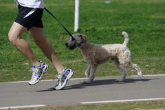 A jogger with a dog on a leash in the park. A jogger with a dog on a leash jogging in a park Stock Photography