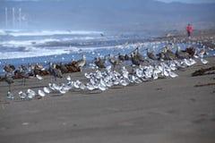 Jogger na plaży z seabirds Obraz Stock