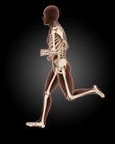 Jogging male medical skeleton. 3D render of a running male medical skeleton Stock Images