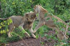 Jogo adolescente dos leões que luta no parque nacional de Hwage, Zimbabwe fotos de stock royalty free