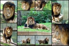 Jogo africano da colagem do leão foto de stock royalty free