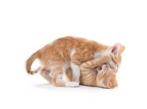 Jogo bonito de dois gatinhos Fotos de Stock Royalty Free
