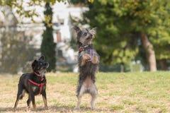 Jogo bonito de dois mini cães em um parque Fotografia de Stock