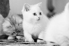 Jogo bonito do gatinho dois Imagens de Stock