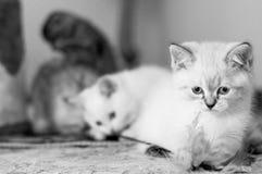 Jogo bonito do gatinho dois Imagens de Stock Royalty Free