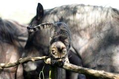 Jogo bonito do gato de gato malhado com os cavalos velhos na cerca da cerca Imagem de Stock