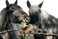 Jogo bonito do gato de gato malhado com os cavalos velhos na cerca da cerca Imagens de Stock