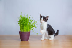 Jogo bonito do gato do bebê ao lado dos wheatgrass ou da grama do gato Imagens de Stock