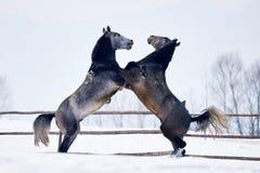 Jogo bonito dos cavalos exterior no inverno imagens de stock