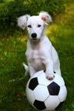 Jogo branco do cão de cachorrinho de Dalmatin com a bola do futebol do futebol Foto de Stock Royalty Free