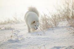 Jogo branco do Samoyed do cão na neve Fotografia de Stock Royalty Free