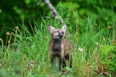 Jogo curioso da raposa vermelha do bebê que olha a planta Imagens de Stock Royalty Free