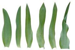Jogo da folha do Tulip Fotos de Stock Royalty Free
